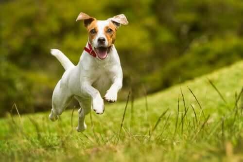 Dorschleberöl verbessert das Herz-Kreislaufsystem von Hunden