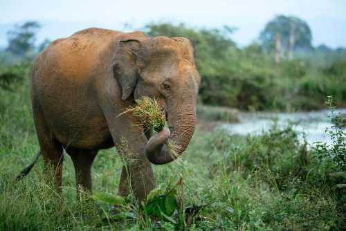 Elefant mit Gras