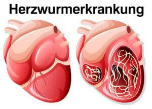 Herzwurmerkrankung - Katzen