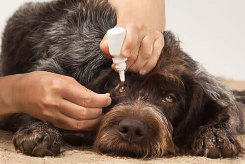 Augeninfektionen bei Hunden: Ursachen und Auswirkungen