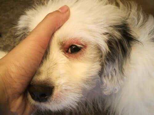 Hund mit entzündetem Auge
