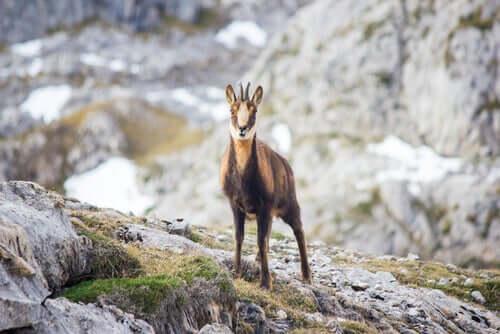 Fang von Wildtieren: Gämse