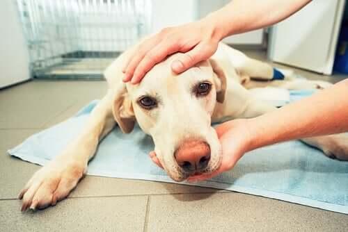 Hämangiosarkom beim Hund: Symptome und Behandlung