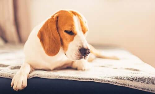 Beagle fühlt sich nicht wohl