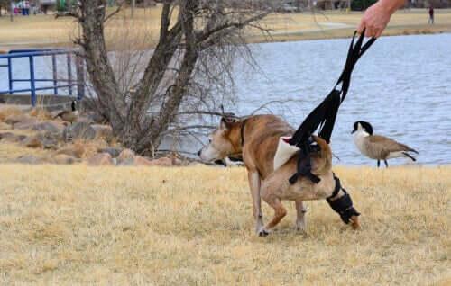 Hund mit Niereninsuffizienz geht Gassi