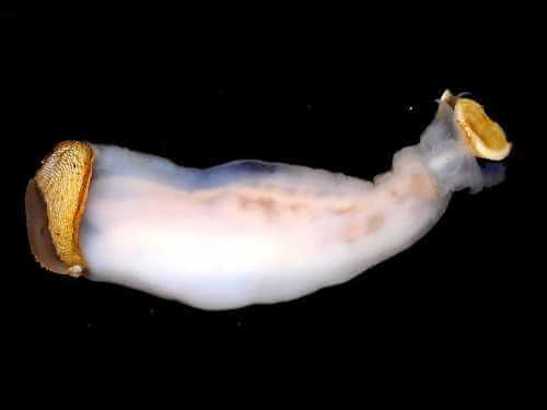 Lithoredo abatanica, die Molluske, die den Flusslauf verändern kann