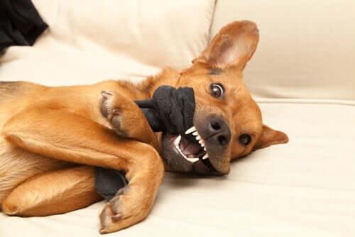 Besitzergreifender Hund