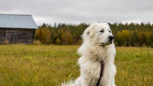 Pyrenäen-Berghund ist treu