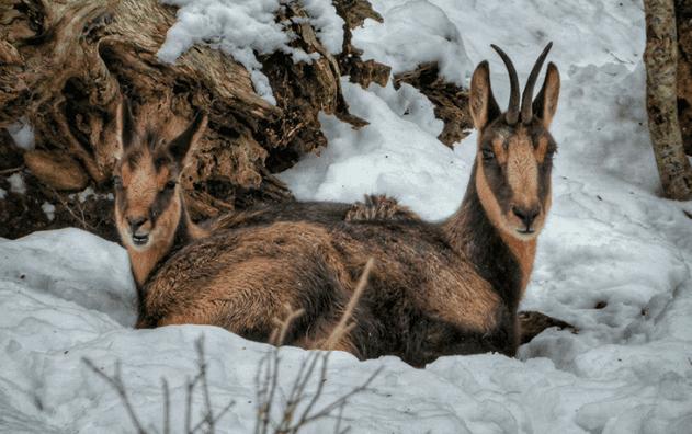 Die Pyrenäen-Gämse: ein erstaunliches Lebewesen