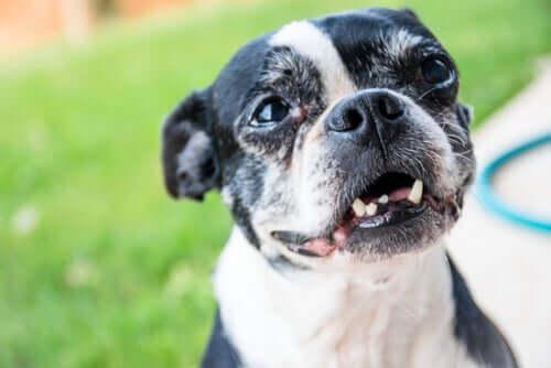 Warum ein erwachsener Hund seine Zähne verliert