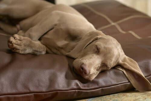 Weimaraner schläft friedlich auf seinem Bettchen
