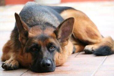 Ein deutscher Schäferhund wurde positiv auf das Coronavirus getestet
