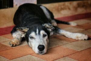 Hyperparathyreoidismus - erschöpfter Hund