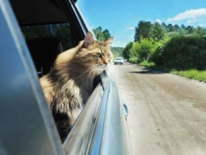 Übelkeit bei Katzen - Katze im Auto
