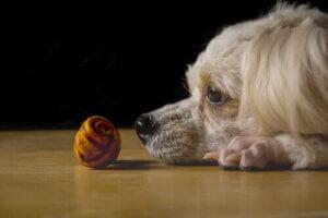 wissenschaftliche Studien - Hund fixiert ein Objekt
