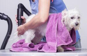 Haustier während der Quarantäne - Hund baden und trocknen