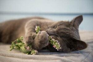 Haustiere während der Quarantäne - Katzenminze