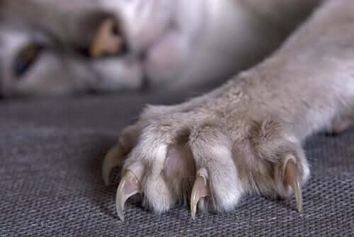 Die ausgefahrenen Krallen einer Katze