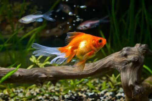 Die robuste Gesundheit des Goldfisches: Könnte die Wasserqualität das Geheimnis sein?