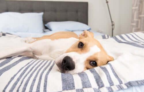 Hund liegt abgeschlagen auf dem Bett