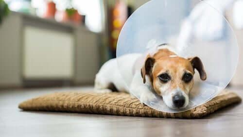 Hund mit Halskrause liegt abgeschlagen auf seinem Kissen