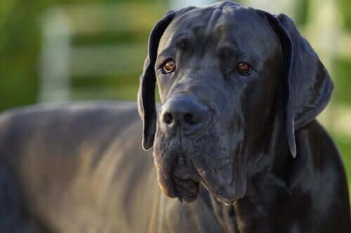 Warum haben sehr große Hunde ein kürzeres Leben?