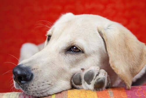Ursachen für Lethargie bei Hunden