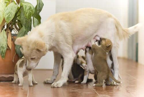 Muttertier säugt ihren Wurf Welpen