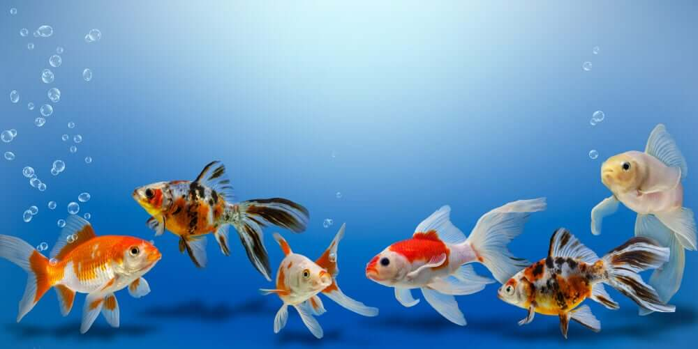 Viele Goldfische