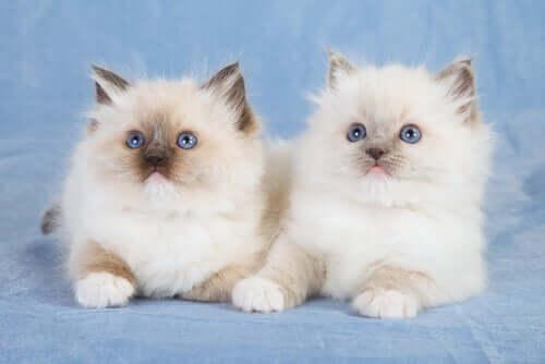 Zwei Ragdoll Kätzchen