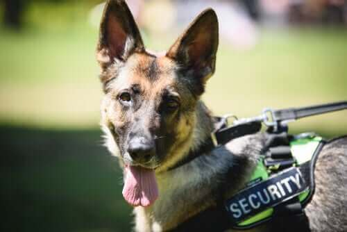 Einsatz von Polizeihunden: Vom Dienst bis zur Pensionierung