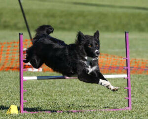 Training mit deinem Hund - Hund springt über eine Stange