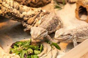 Haustiere mit der längsten Lebenserwartung - Geckos