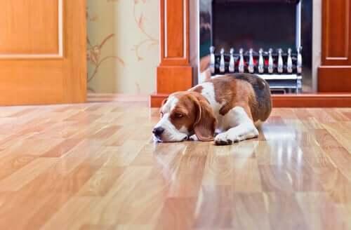 Laminatfußboden: Gefahren für Hunde