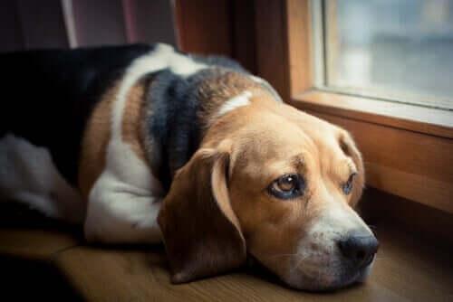 Hund schaut traurig aus dem Fenster