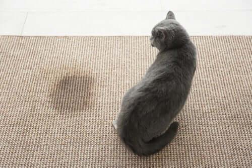Katzenurin entfernen: So gelingt es dir!