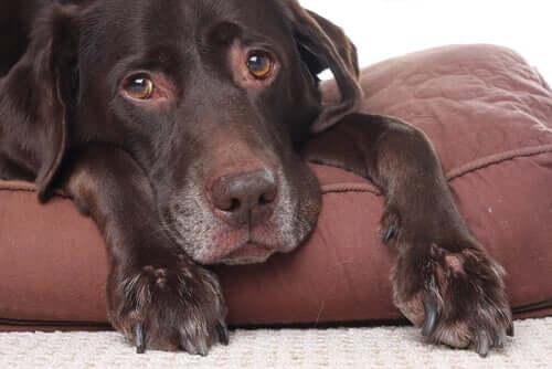 Können Hunde Kopfschmerzen haben?