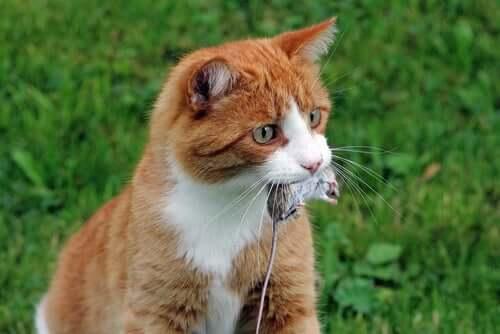 Stolzes Samtpfötchen hat eine Maus im Garten gefangen