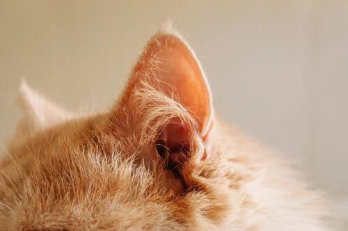Taubheit bei Katzen: 5 Tipps für Pflege und Kommunikation