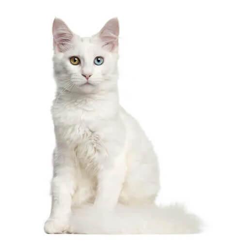 Taubheit bei weißen Katzen