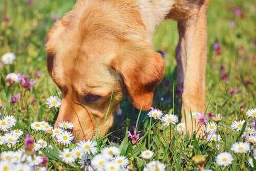 Kamille und ihre medizinischen Eigenschaften für Haustiere