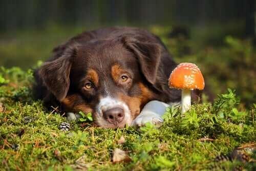 Pilzvergiftung bei Hunden: Symptome und Behandlung
