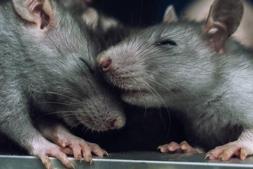Können auch Ratten Empathie empfinden?