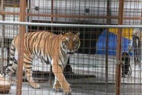 Wildkatzen in Gefangenschaft - die häufigsten Erkrankungen