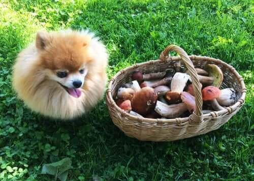 Pilzvergiftung - kleiner Hund