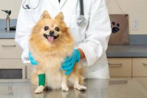 geschwollene Beine - Hund beim Tierarzt