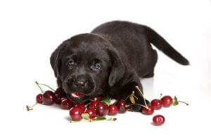 Hunde giftig - Kirschen