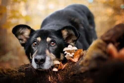 Pilzvergiftung - Hund neben Pilzen