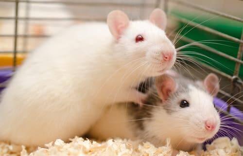 Empathie - Ratten in einem Käfig
