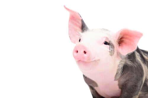 Veterinärimmunologie - lächelndes Schwein